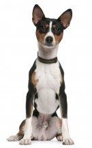 Basenji Small Breed Dog