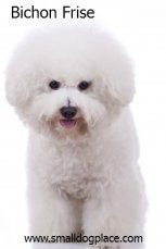 Bichon Frise:  Small Breed Dogs that are good with children.