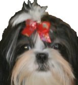 Grooming the Long Haired Dog such as a Shih Tzu
