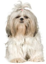 Cream colored Shih Tzu Links to Shih Tzu Dog Breed Profile
