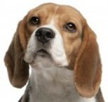 Grooming short haired dogs such as the Beagle