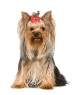 Popular Small Breed Dogs:  The Yorkshire Terrier