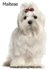 Maltese:  Small gentle dog breed good with children