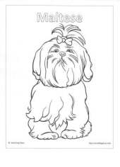 Maltese Coloring Page