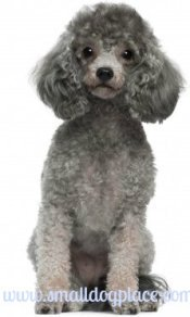 Popular Small Breed Dogs:  Toy Poodle