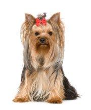 Hypoallergenic dogs:  Yorkie