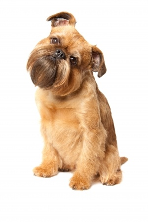 The Smooth Coated Brussels Griffon Dog