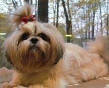 Shih Tzu dog with two eyes