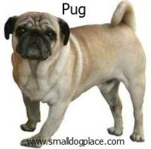 Pug:  Small breed dogs that are good with children