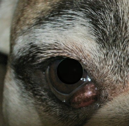 Cherry Eye, a small dog health problem