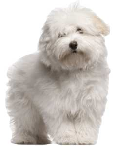 Coton, the Royal Dog of Madagascar