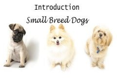 Introduction to Small Breed Dogs