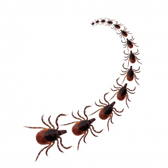 Row of Ticks