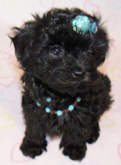 Solid Black Malti-Poo Puppy