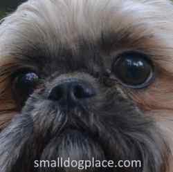 Small Dog Eyelid Problems