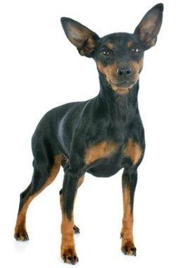 Small Dogs Miniature Pinscher