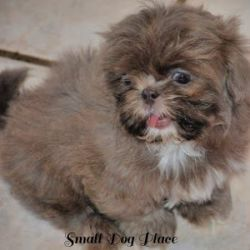 A small Shih Tzu Puppy was caught sneezing