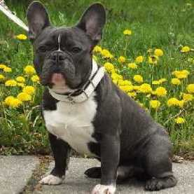 French Bulldog:  Playful, Affection, Mild-mannered;  Ease of Training is average