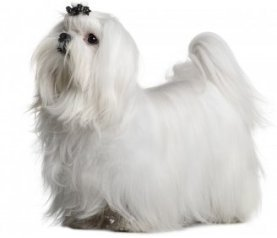Maltese is consider more hypoallergenic than othe dogs.