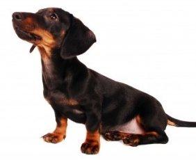 Puppy Socialization Dachshund