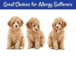 Breeds that are great for allergy sufferers.