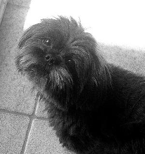 Shih Tzu and Poodle mix