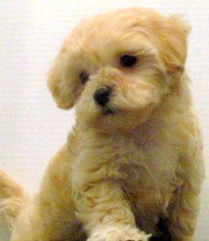 Malti-Poo (Maltese & Poodle)