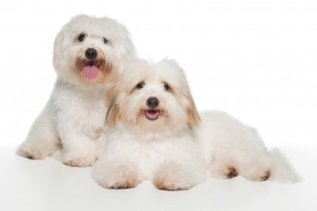 Coton de Tulear:  Playful Affectionate and Friendly;  Grooming is high maintenance;  Not much of a Barker