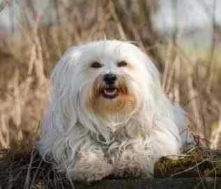 Havanese:  Affection and playful, but a little more vocal than some breeds:  May need the training to reduce barking tendency;