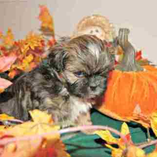 Shih Tzu Puppy surrounded by pumpkins and colored leaves.