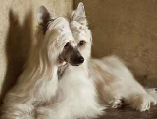 How Much Do Chinese Crested Dogs Cost