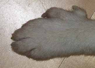 The Norwegian Lunderhund is known for his six digits on each paw