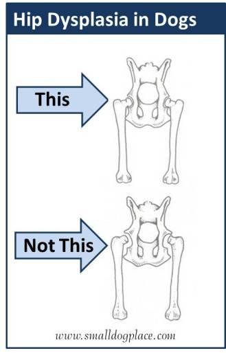 Hip Dysplasia In Small Dogs