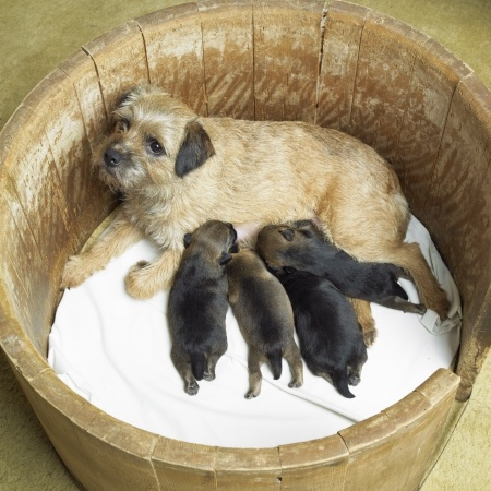 Border Terrier Mom and Babies