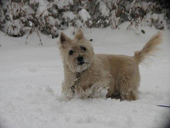 Cairn Terrier Enjoying the Snow.