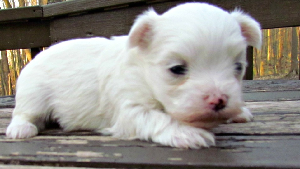 Tiny Maltese Poodle Designer Dog