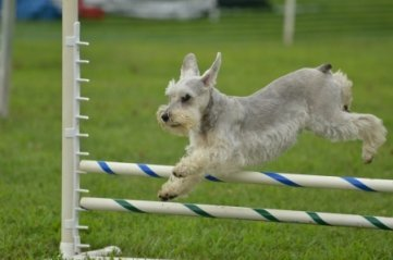 Miniature Schnauzer Doing Agility