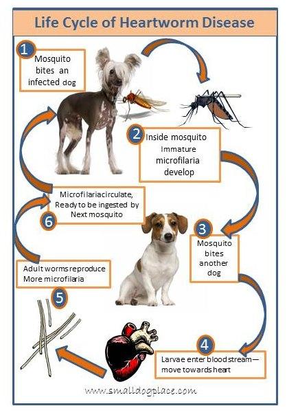 Heartworm Disease Life Cycle