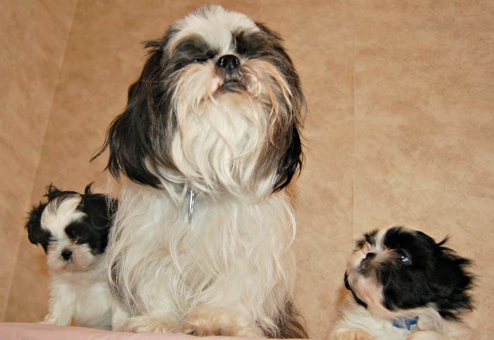 Black and White Dog Names for a Black and White Shih Tzu
