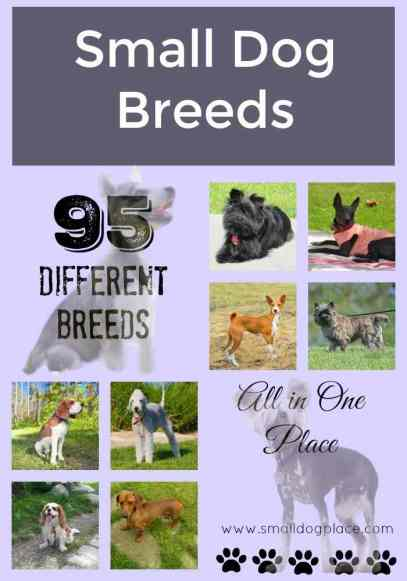 An A to Z Small Breed Dog List including 95 different breeds.