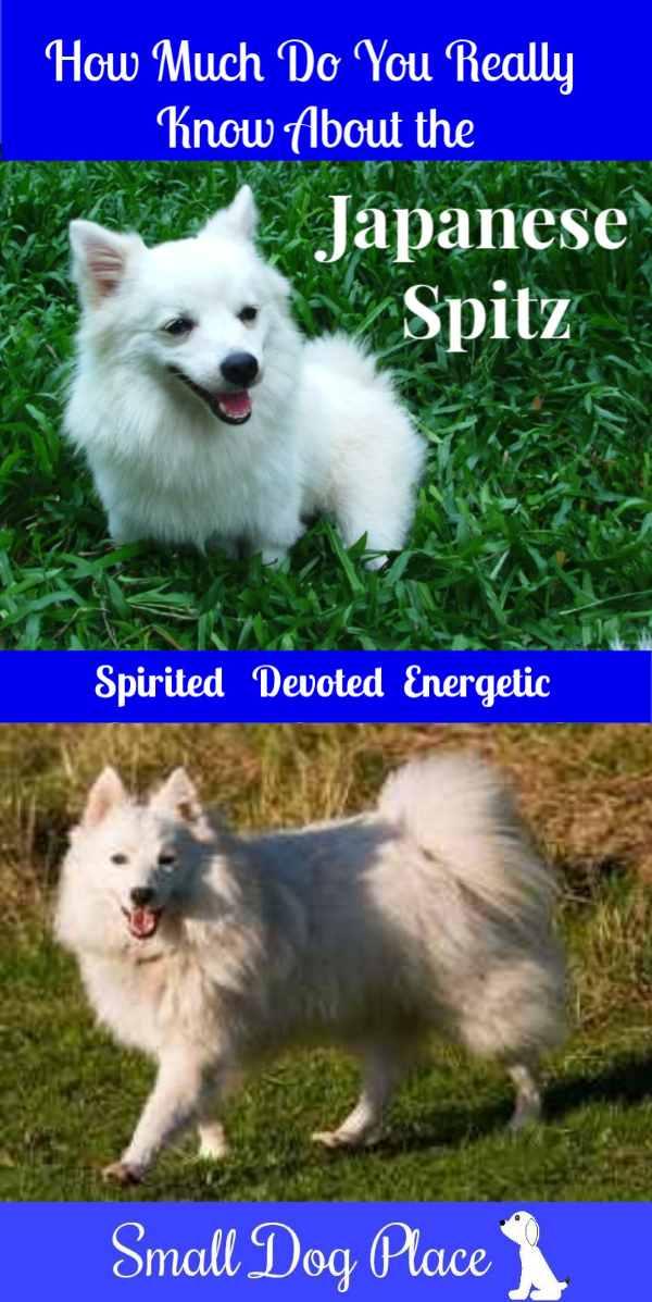 Japanese Spitz Dog Breed