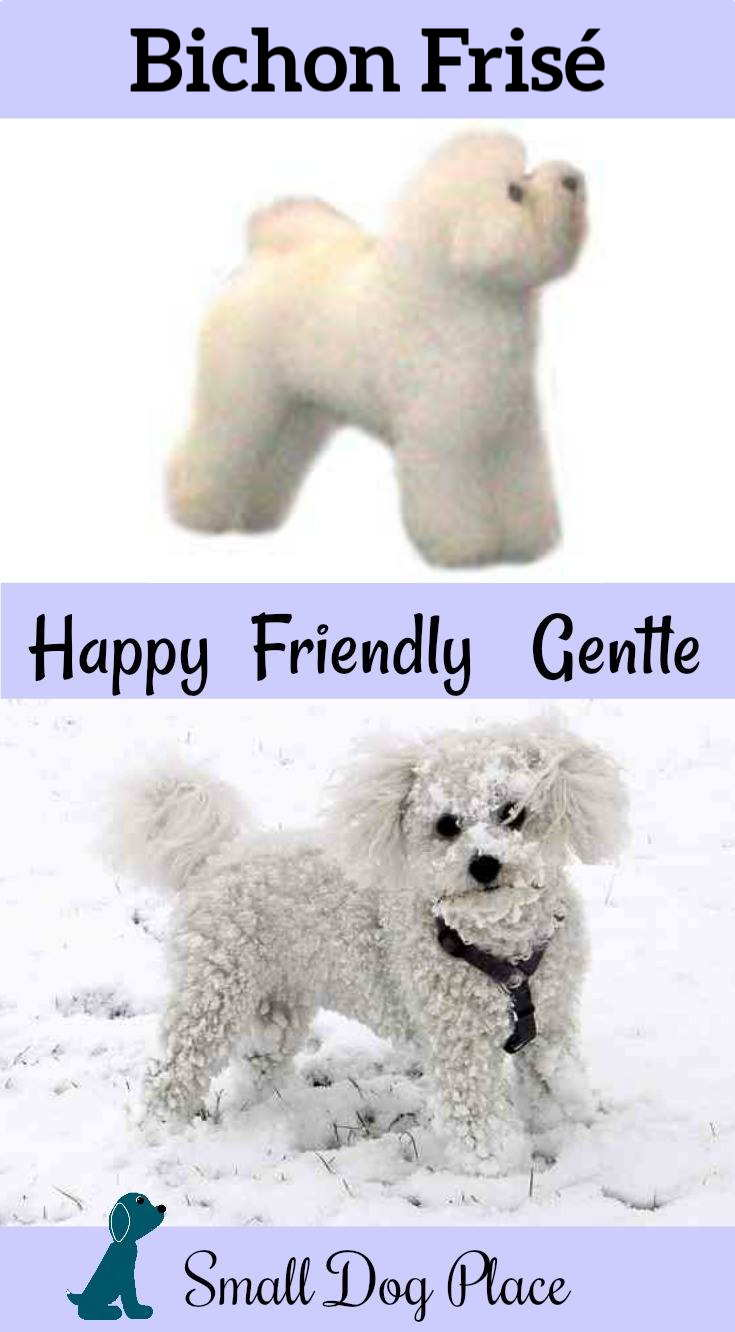 How Much Do You Know about the Bichon Frise?