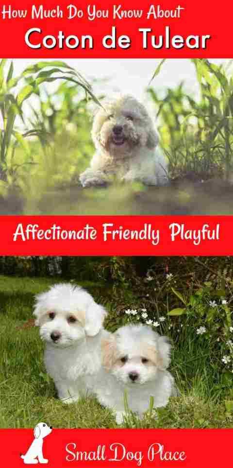 The Coton de Tulear Dog Breed Profile