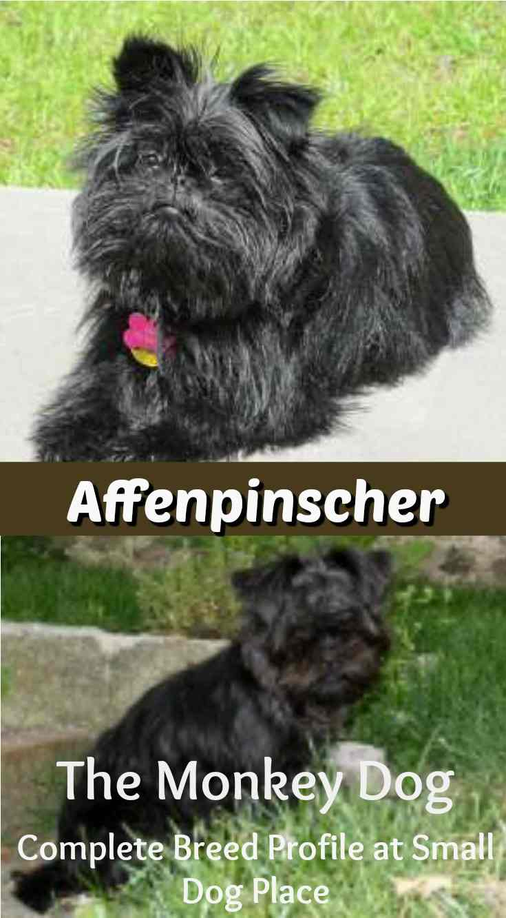 Affenpinscher or Monkey Dog:  The Complete Breed Profile:  Is the breed right for you?
