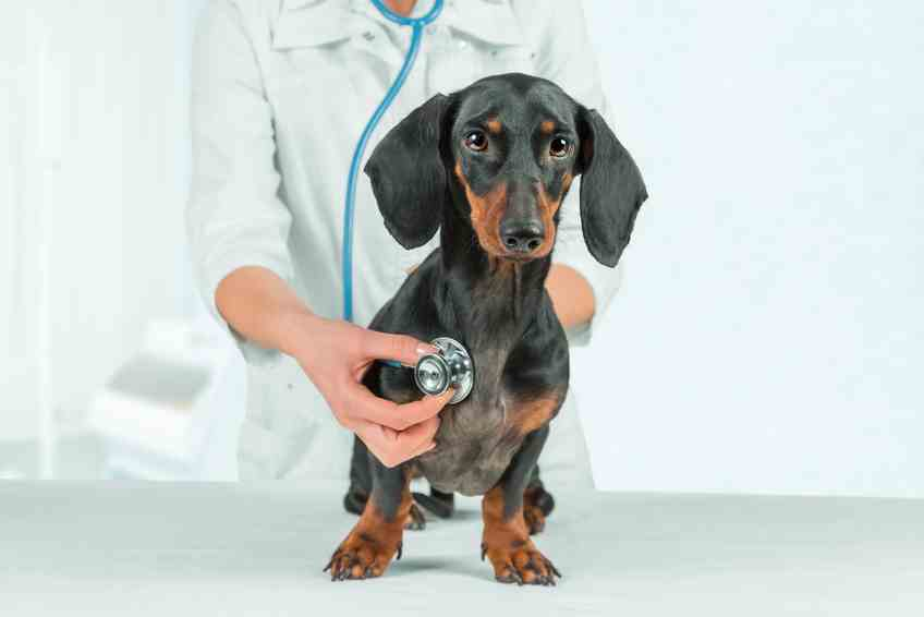 Health Concerns of the Dachshund