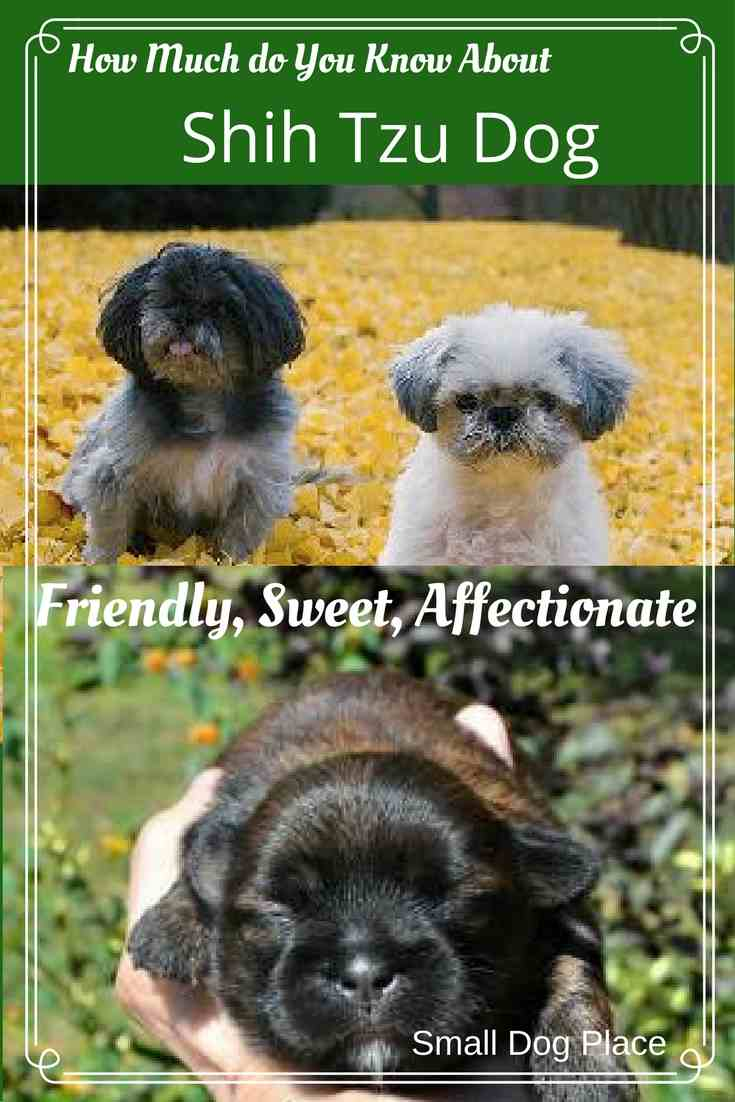 What you need to know about the Shih Tzu