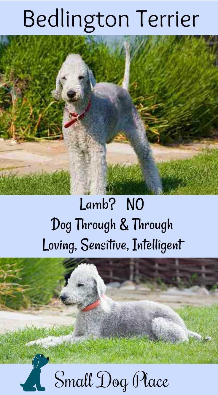 Bedlington Terrier Complete Dog Breed Profile