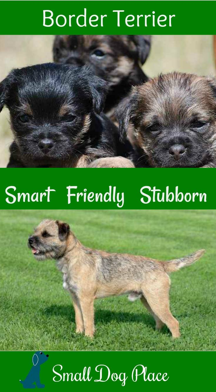 The Border Terrier Breed Profile at Small Dog Place