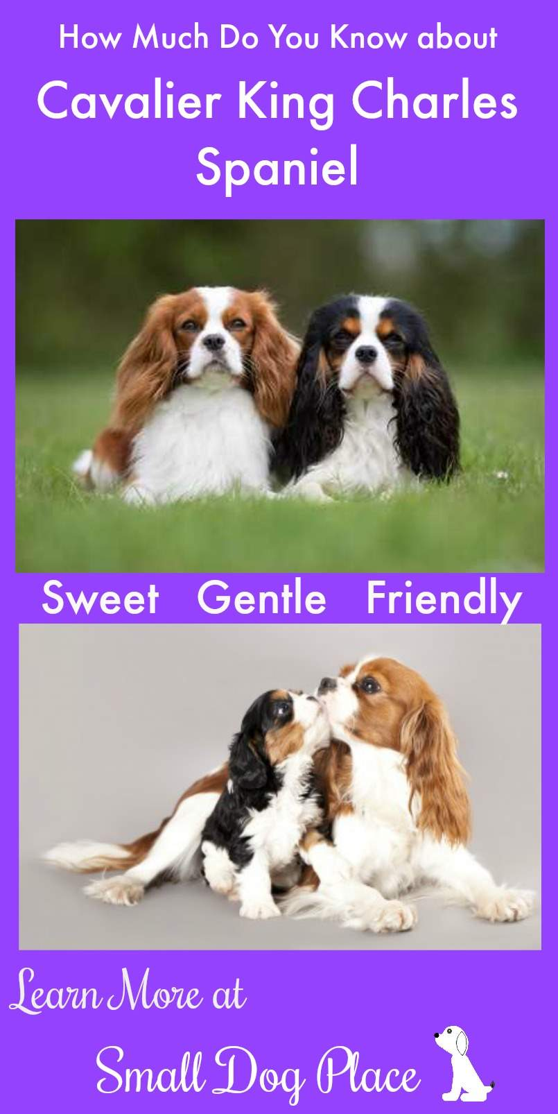 Cavalier King Charles Spaniel Breed Profile
