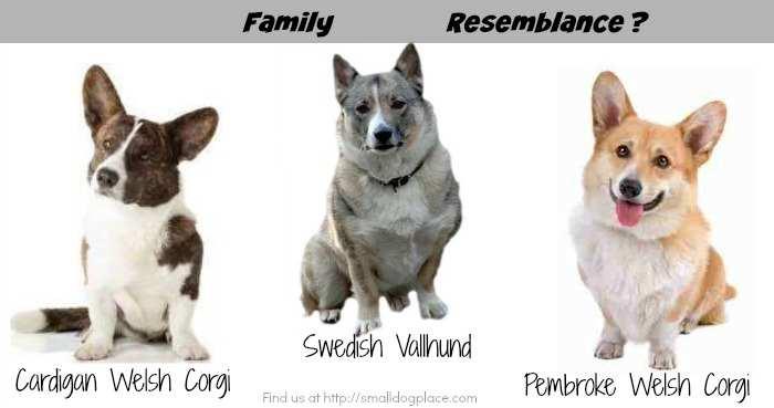 Similarity between Swedish Vallhund and Corgi Breeds